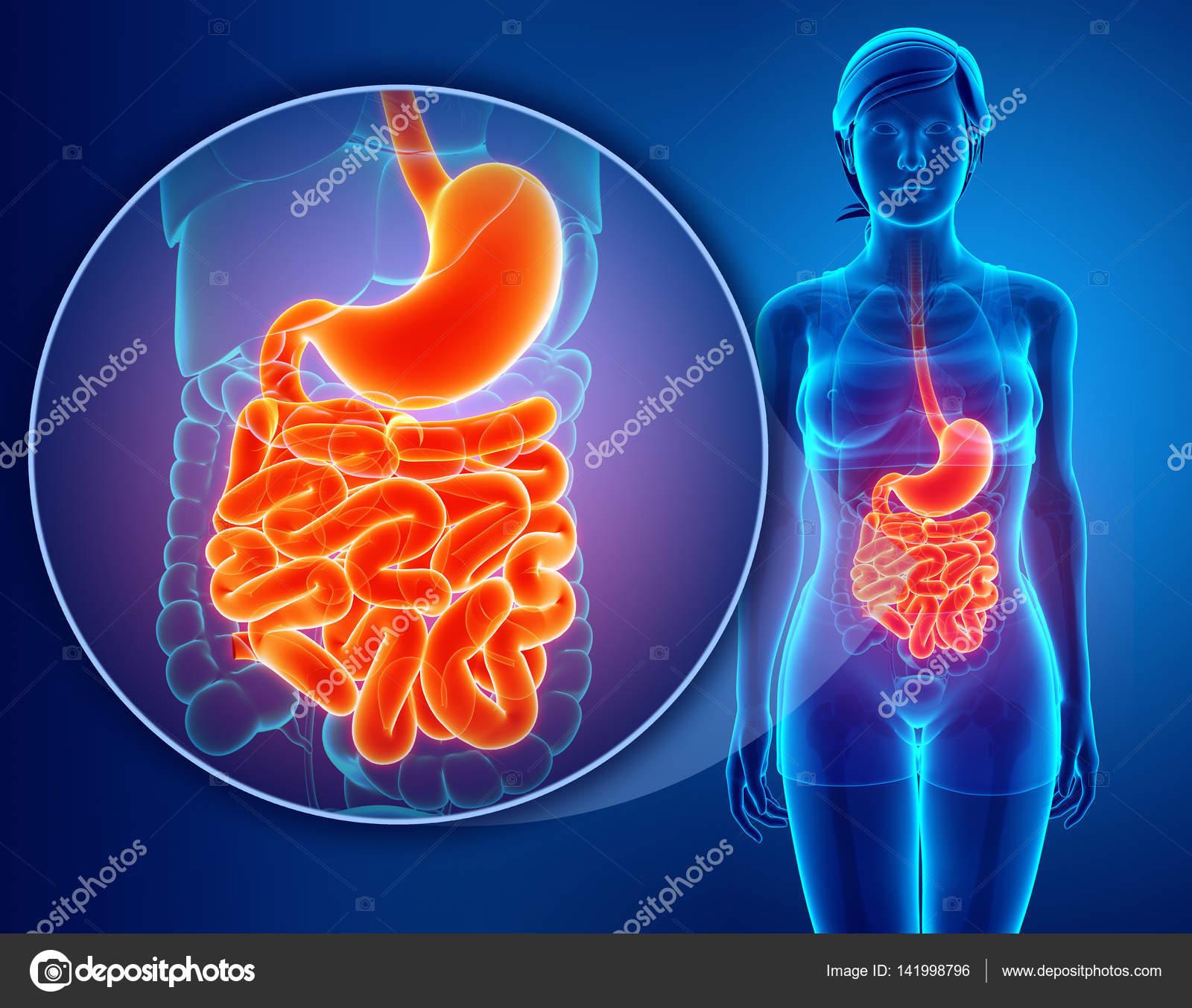 render 3D de la anatomía del intestino delgado — Fotos de Stock ...