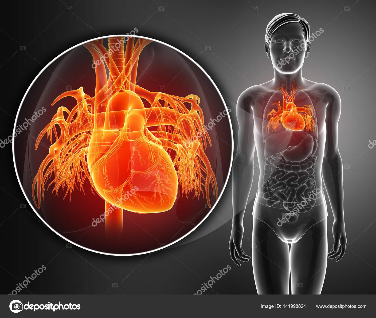 3d render of Human Heart Anatomy — Stock Photo © pixdesign123 #141998824