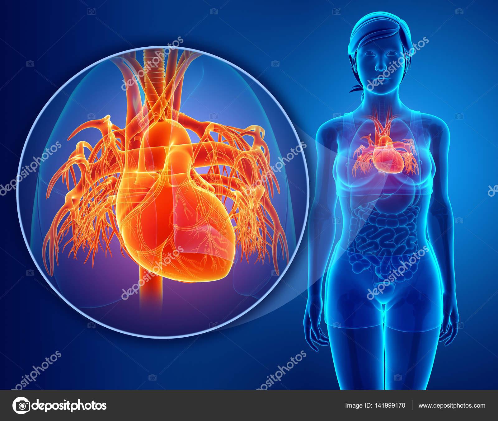 render 3D de anatomía humana de corazón — Foto de stock ...