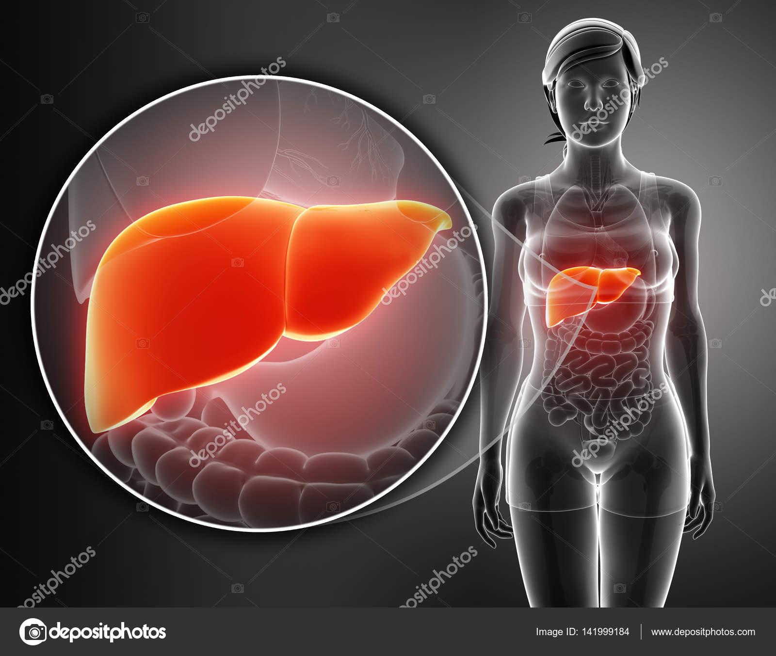 3D render de hígado anatomía masculina — Foto de stock ...