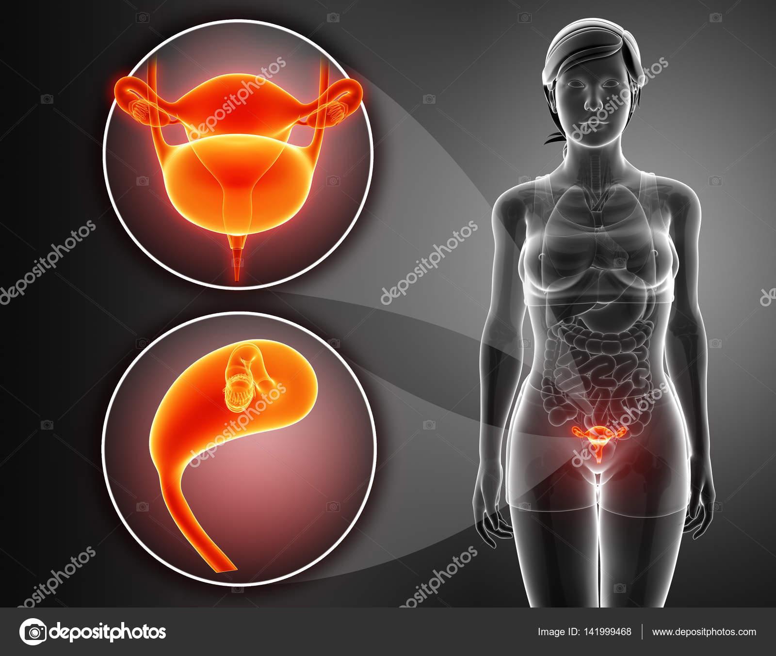 Anatomía del sistema renal femenino — Foto de stock © pixdesign123 ...