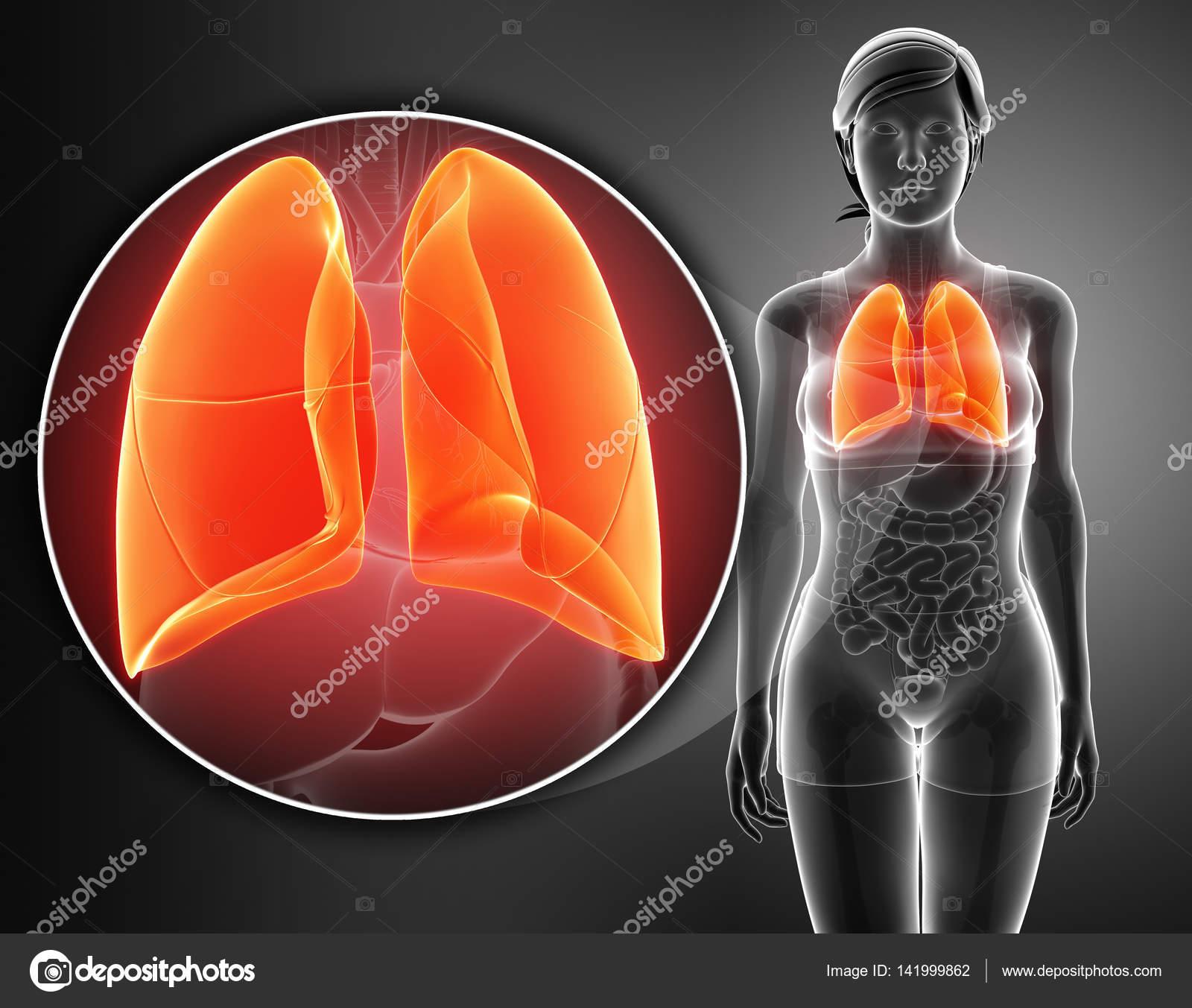 sistema respiratorio humano con pulmones — Foto de stock ...