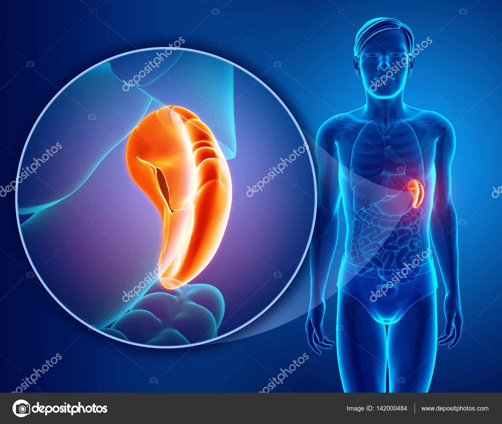 3d render of Human spleen anatomy — Stock Photo © pixdesign123 ...