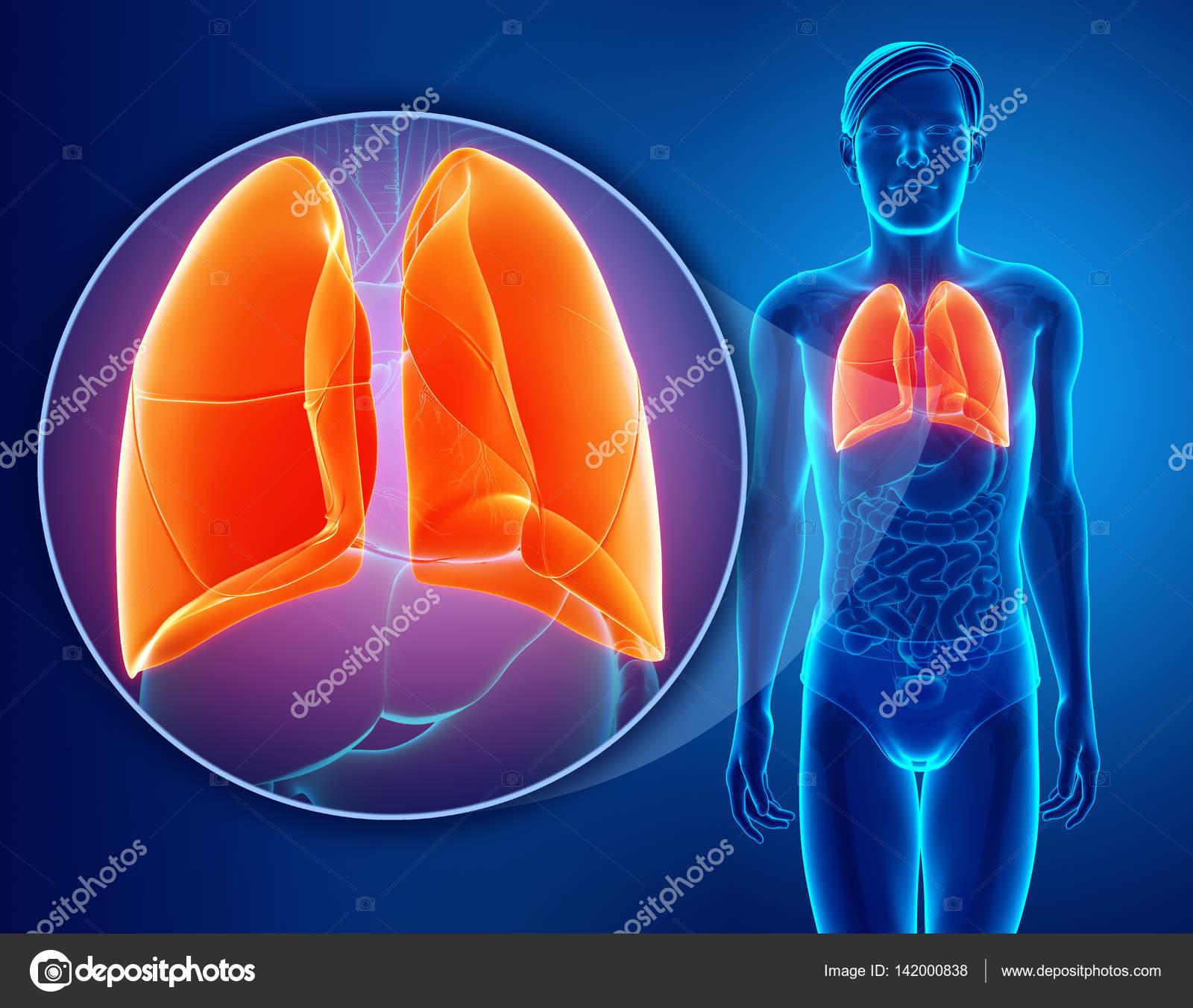 menschlichen Atemwege mit Lungen — Stockfoto © pixdesign123 #142000838