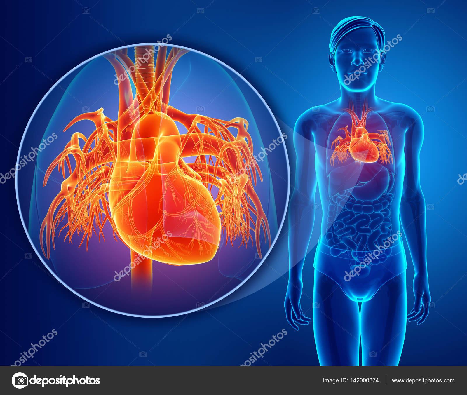 3d render of Human Heart Anatomy — Stock Photo © pixdesign123 #142000874