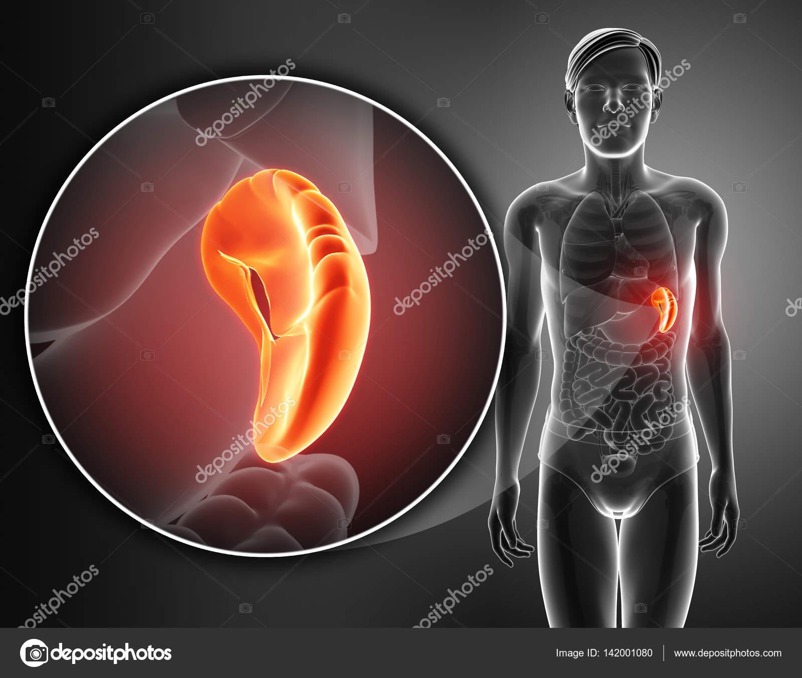 render 3D de la anatomía del bazo humano — Foto de stock ...