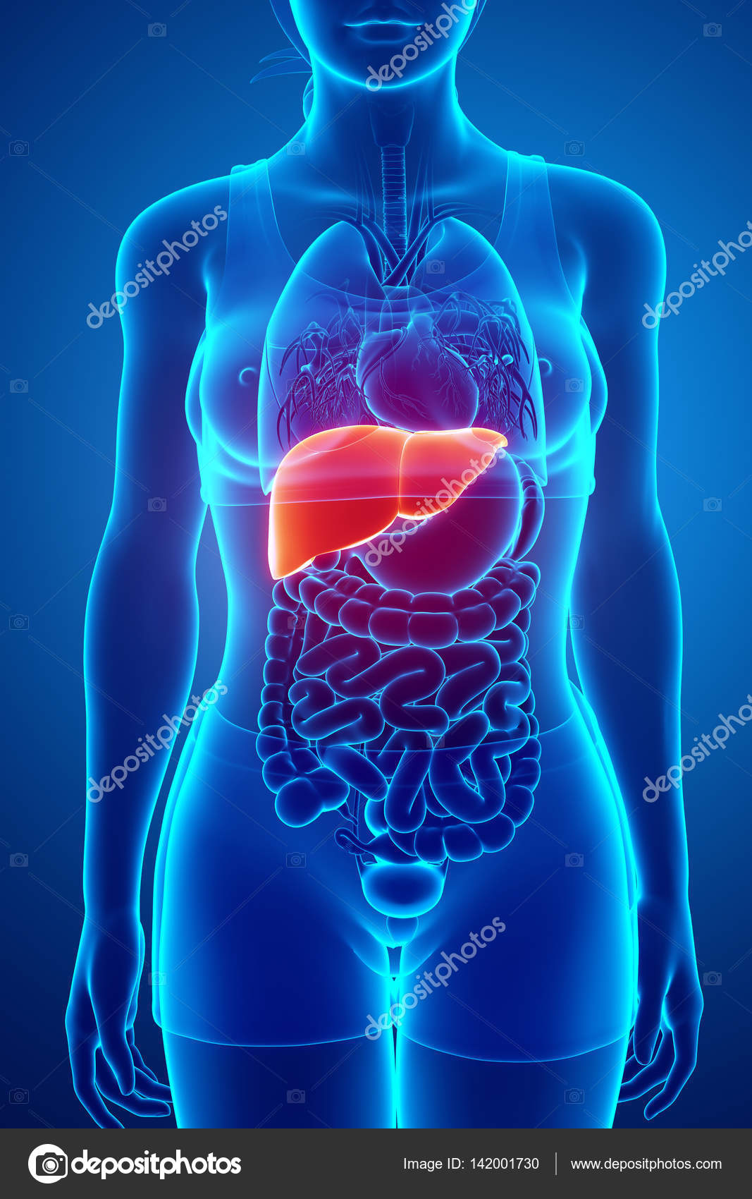 3D render de hígado anatomía masculina — Fotos de Stock ...