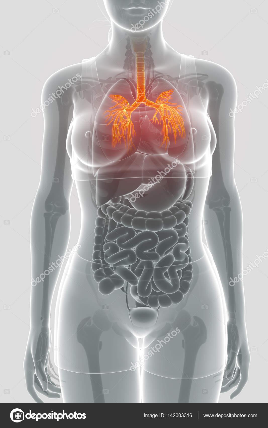 Antique medical scientific illustration of bronchial tree — Stock ...