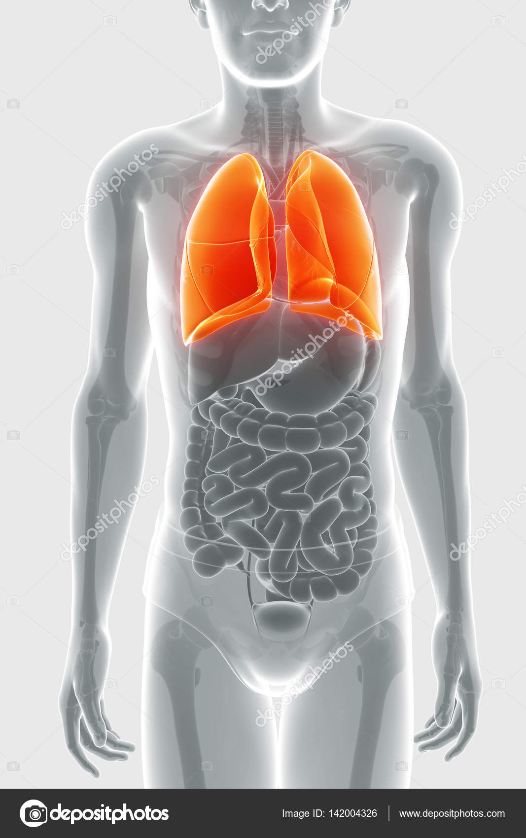 sistema respiratorio humano con pulmones — Fotos de Stock ...