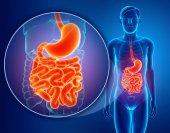 3d render of  Small intestine anatomy