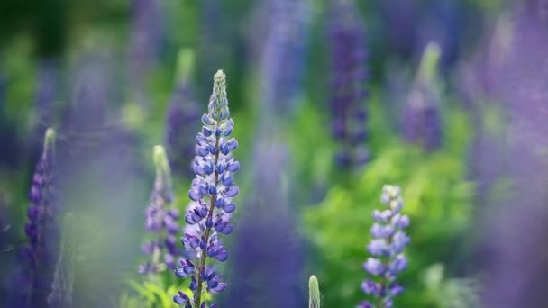 Lupine Field With Blue Flowers