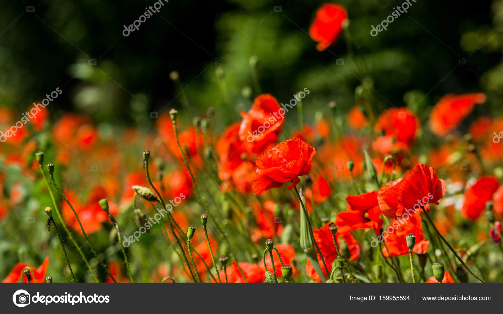 Glade of red poppies flowers red poppies blossom on wild field red glade of red poppies flowers red poppies blossom on wild field red poppies in soft light mightylinksfo