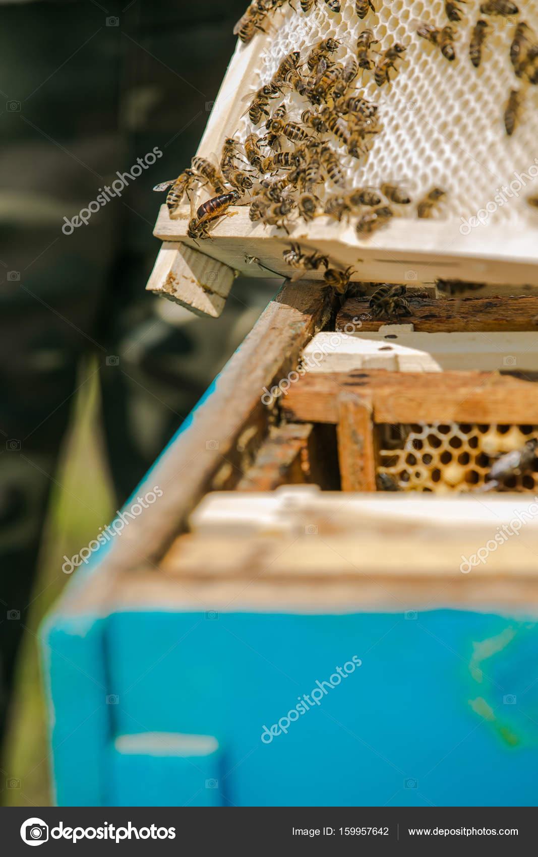 Reina de la abeja. Apicultor sacando marco con panal de una colmena ...