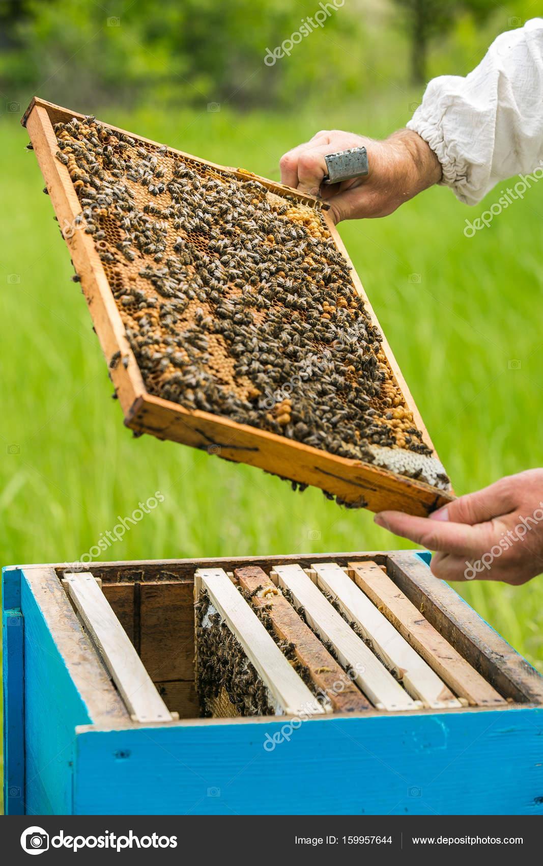 Apicultor en el apiario. levantando el marco de la colmena. Abejas ...