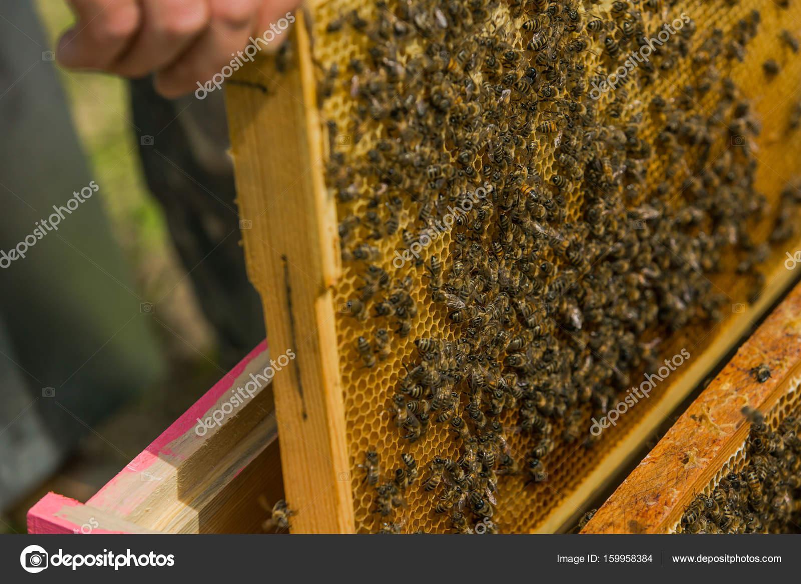 El apicultor en el apiario. Tira el marco fuera de la colmena ...