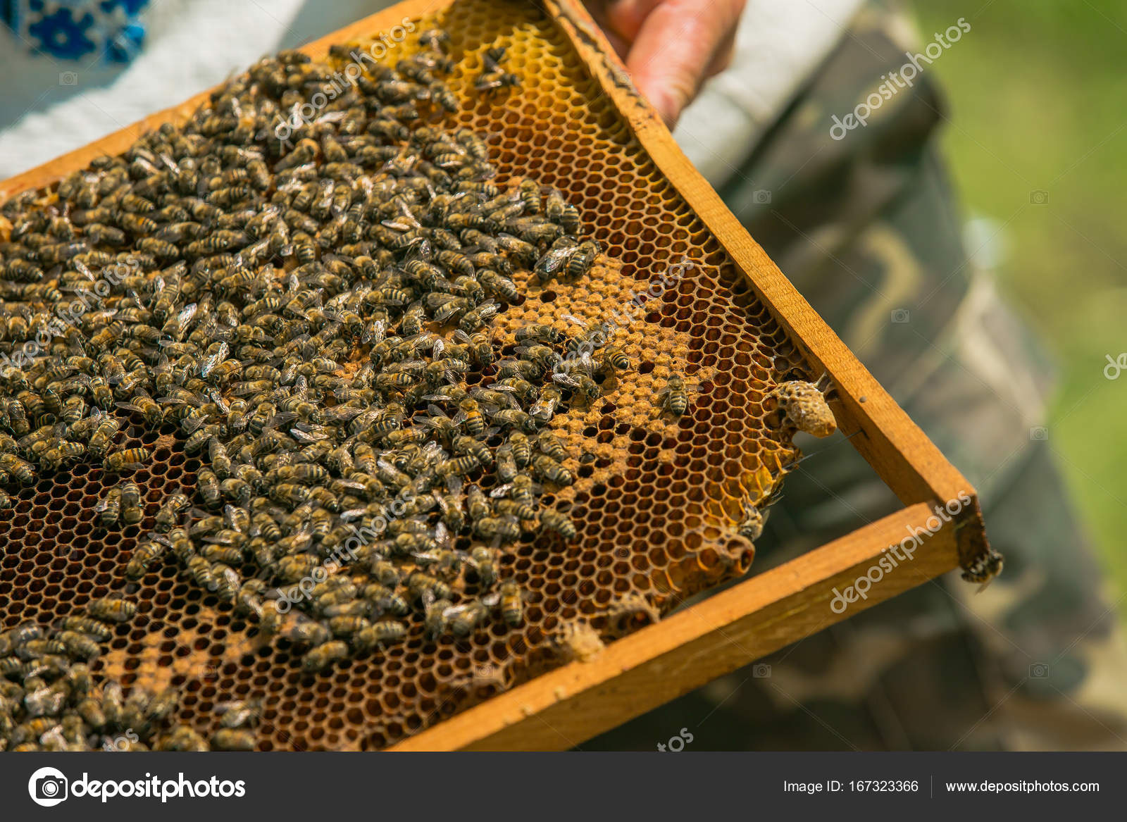 Hand of beekeeper is working with bees and beehives on the apiary ...