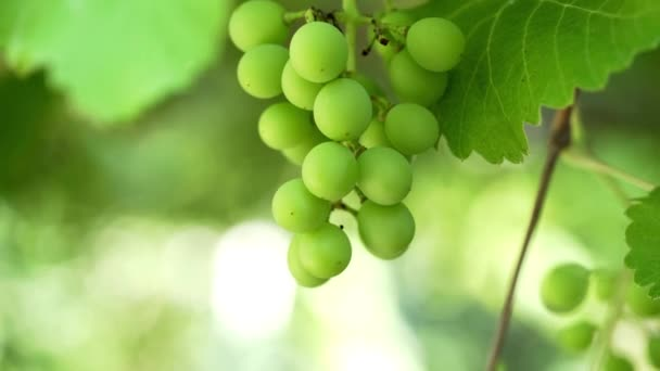 Bunch of unripe grapes hanging on a vine. Picking grapes on farm. Vineyard close up