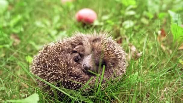 Hedgehog in natural garden. Young hedgehog in natural habitat