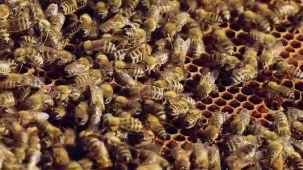 Roj včel plazících se venku po rámu úlu. Včely mávají křídly a plazí se k sobě po hnědém povrchu. Zpomal. Detailní záběr