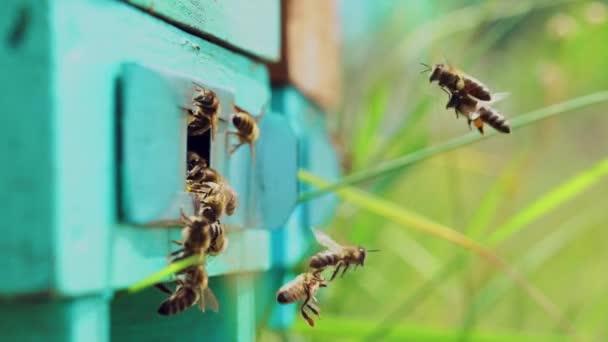 Aktivní včely letící do modrého dřevěného úlu s pylem na pozadí zelené přírody. Medový hmyz vyřezávající v létě na nohách žlutý pyl. Detailní záběr