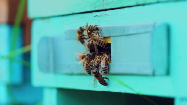 Medonosné včely se rojí a létají kolem svého úlu. Včelí záběry pro produkci medu a včelí výzkum. Pomalý pohyb.