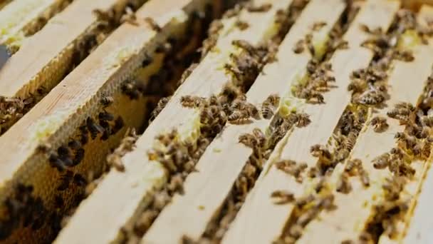 Frames of a bee hive. Beekeeper harvesting honey. Working bees on honey cells. Apiary concept.