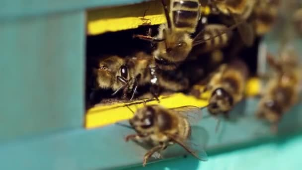Honigbienen schwärmen und fliegen um ihren Bienenstock herum. Das Leben der Arbeitsbienen. Zeitlupe