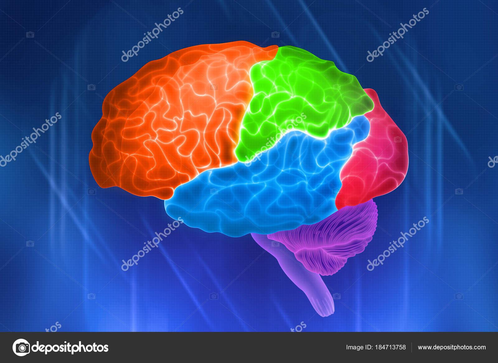 Partes Del Cerebro Humano Designación Color Las Acciones Ilustración ...
