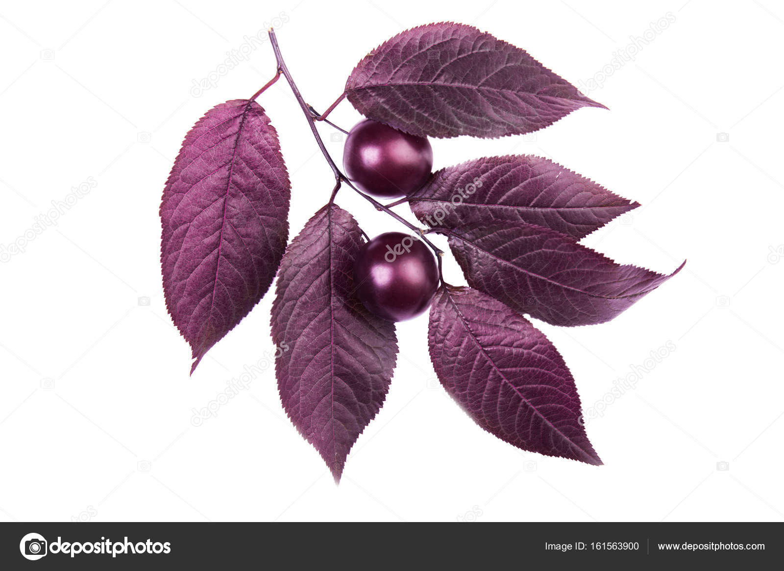 Close Up Of Red Leaves Of Plums With Two Decorative Plums