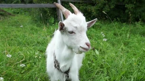 Koza žere trávu