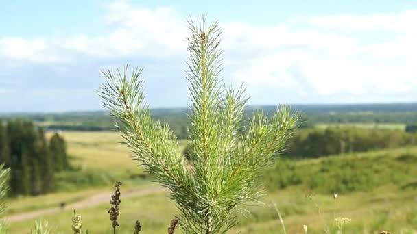 větev stromu zelená jedle