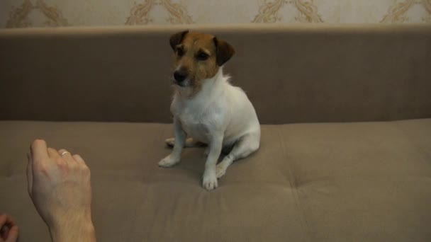 Jack Russell Terrier executes commands