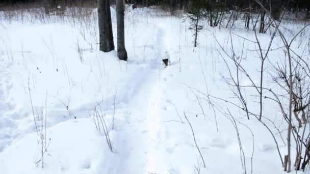 Jack Russell Terrier brings a stick