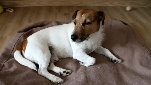 Jack Russell terrier sleeping