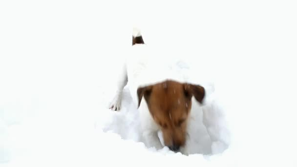 Jack Russell terrier is digging a hole. Dog digs