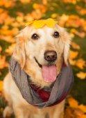Podzimní portrét zlatý retrívr v červeným šátkem
