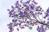 Fotografie Jacaranda květiny kvetou v slunečnou oblohou, když přijde jaro