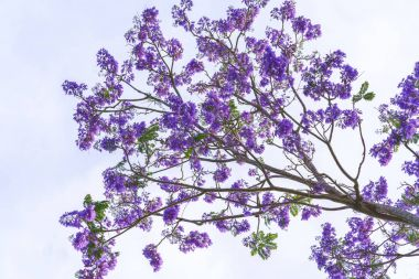 Jacaranda flowers bloom in the sunny sky when spring comes
