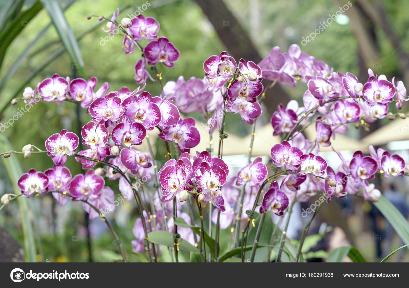 Phalaenopsis Orchids Flowers Bloom In Spring Adorn The Beauty Of
