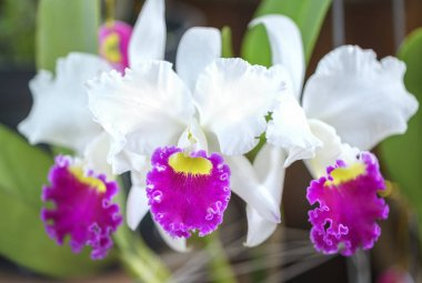Cattleya Labiata flowers bloom in spring adorn the beauty of nature
