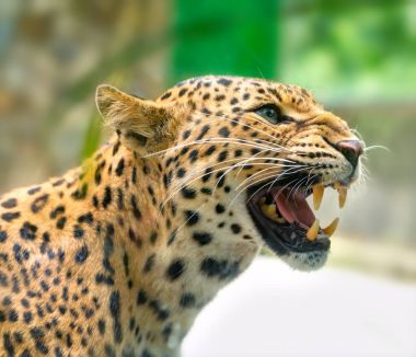 Portrait of leopard prints angry in the natural world.