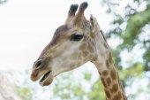 Portrét žirafa s dlouhým krkem a legrační hlavou pomáhá zvíře najít potraviny na vysoké větve, aby jim pomohla přežít ve světě přírody