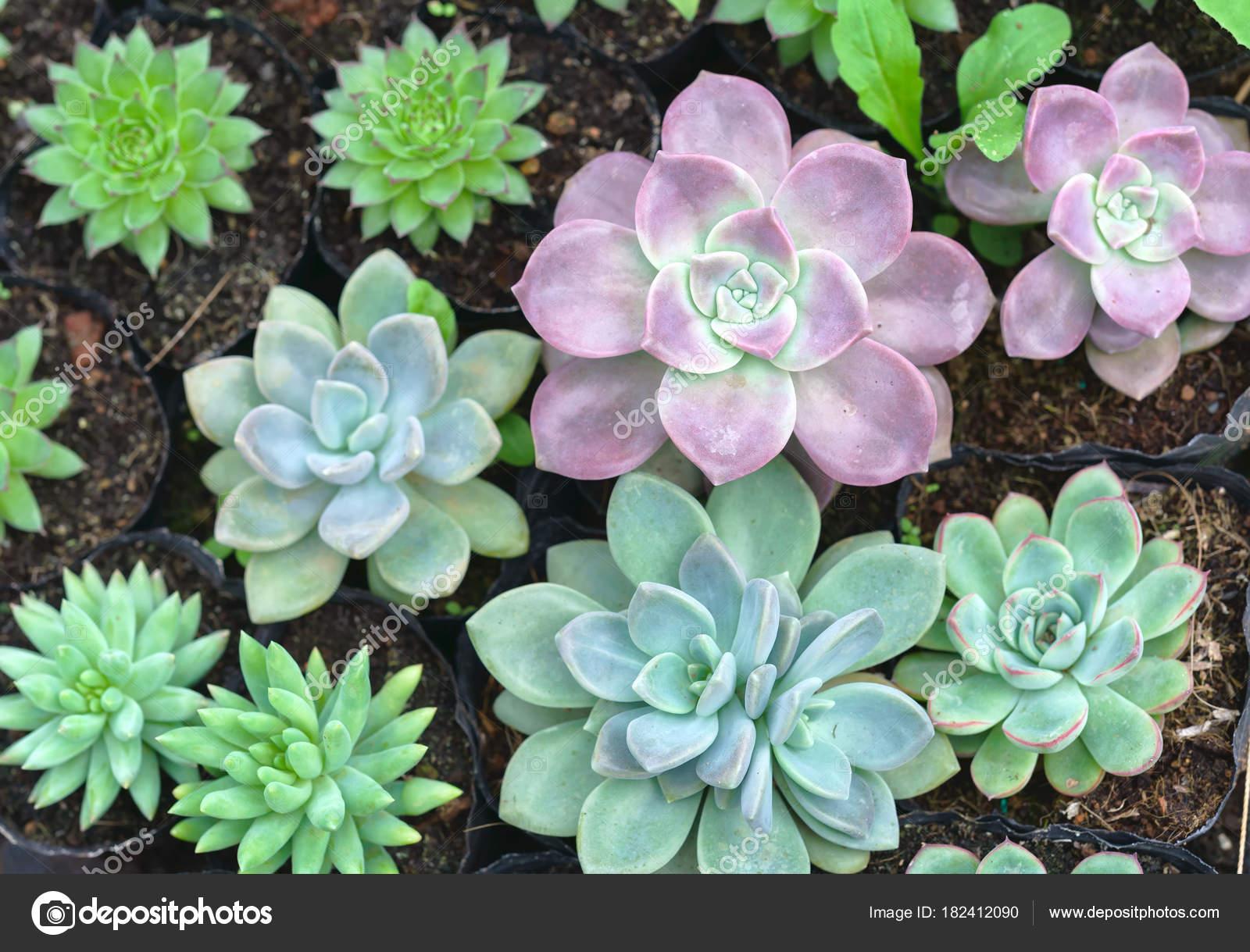 Rosa Flores Suculentas Plantas Jardin Trata Una Especie Familia - Plantas-de-jardin-con-flores