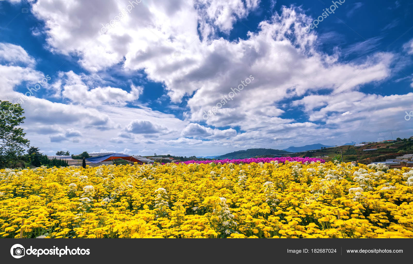 Yellow Daisy Flower Field Blooming Spring Morning Blue Cloudy Sky ...