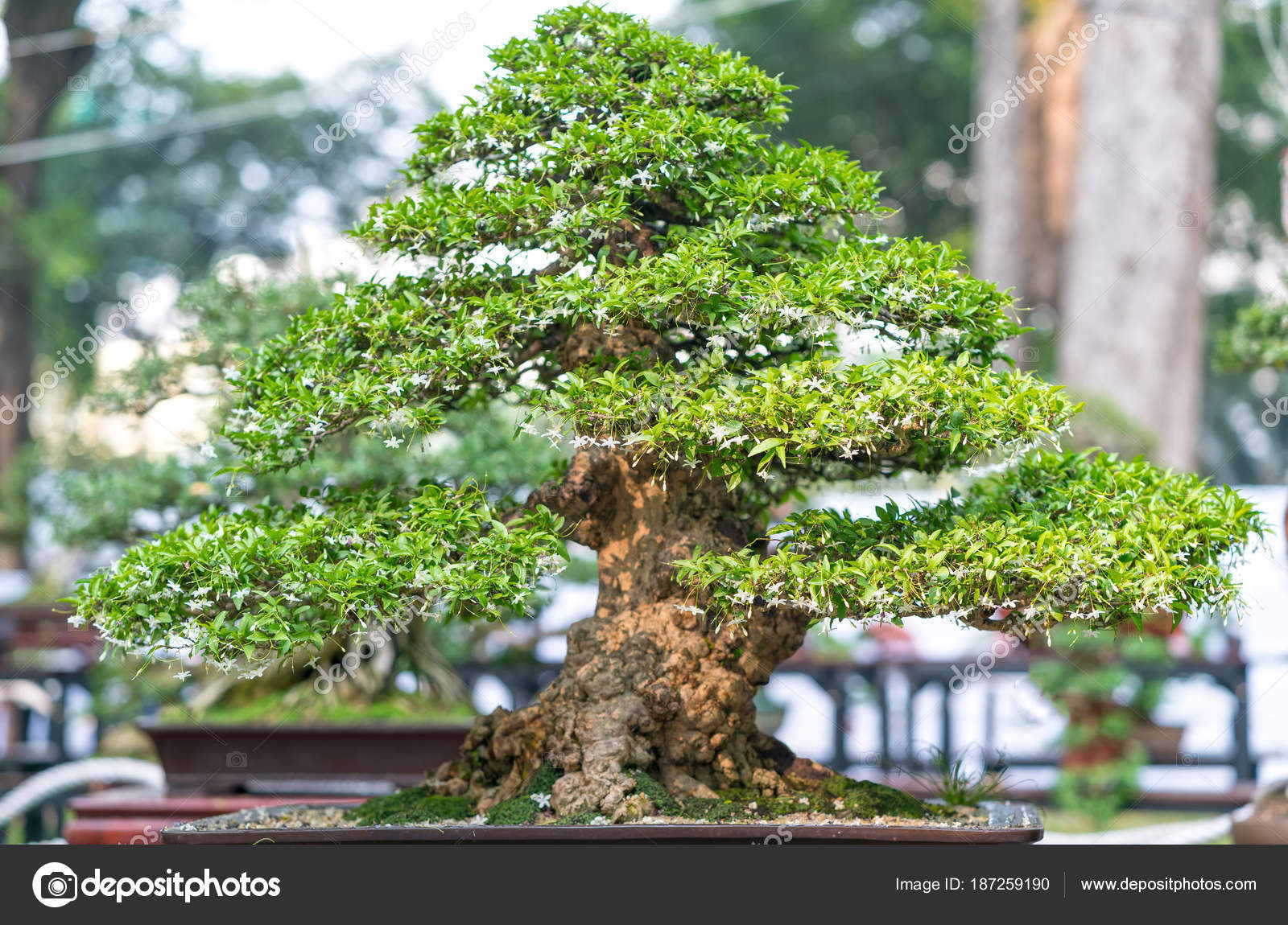 Groene Bonsai Boom Een Pot Lade Plant Vorm Van Stam Stockfoto C Huythoai1978 Gmail Com 187259190