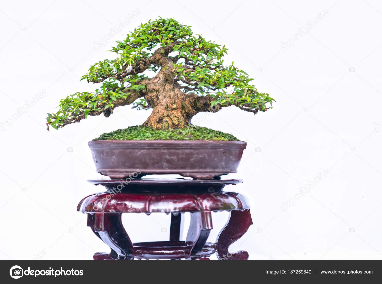 Green Old Bonsai Tree Isolated White Background Pot Plant Shape