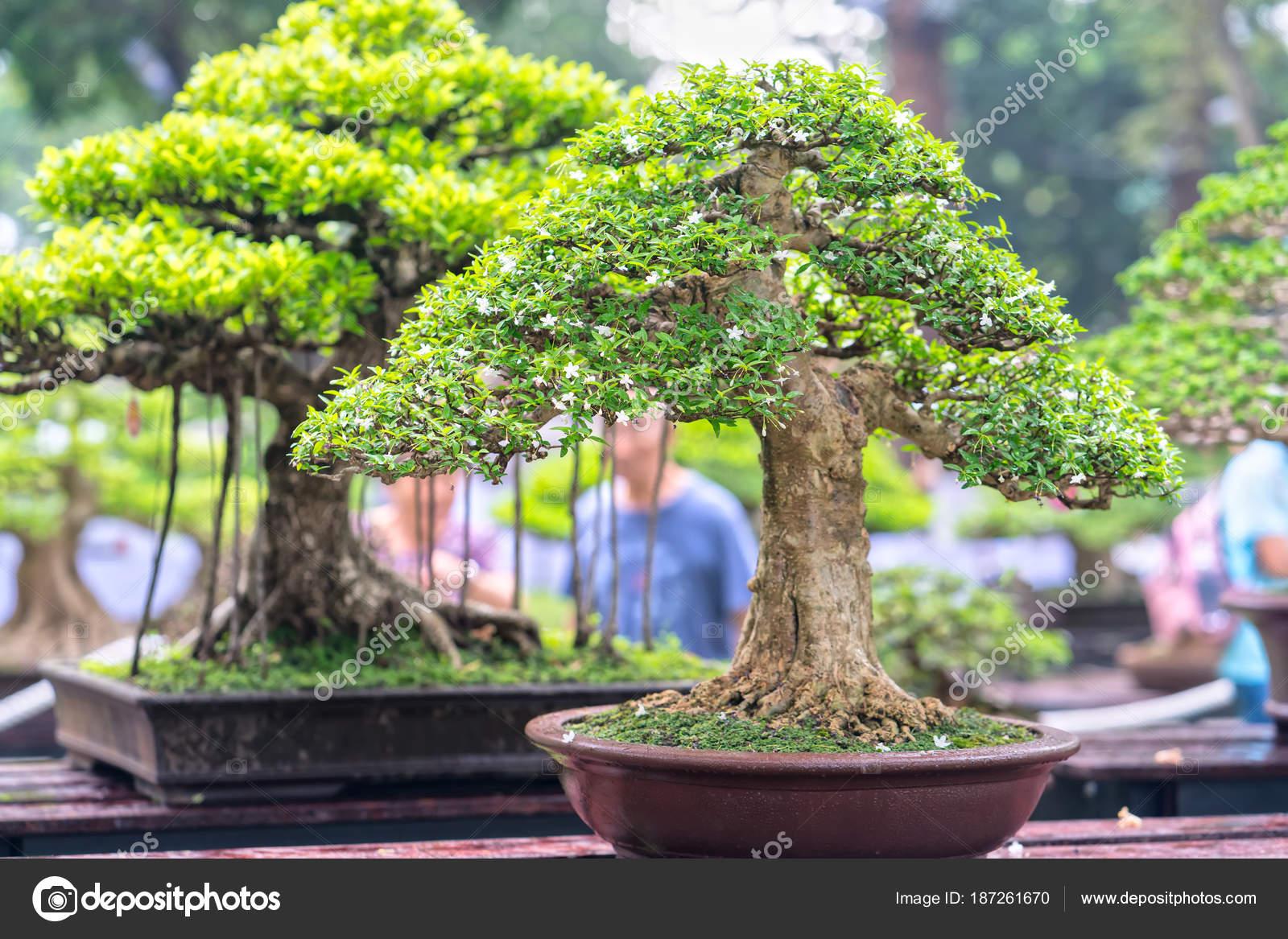Groene Bonsai Boom Een Pot Lade Plant Vorm Van Stam Stockfoto C Huythoai1978 Gmail Com 187261670