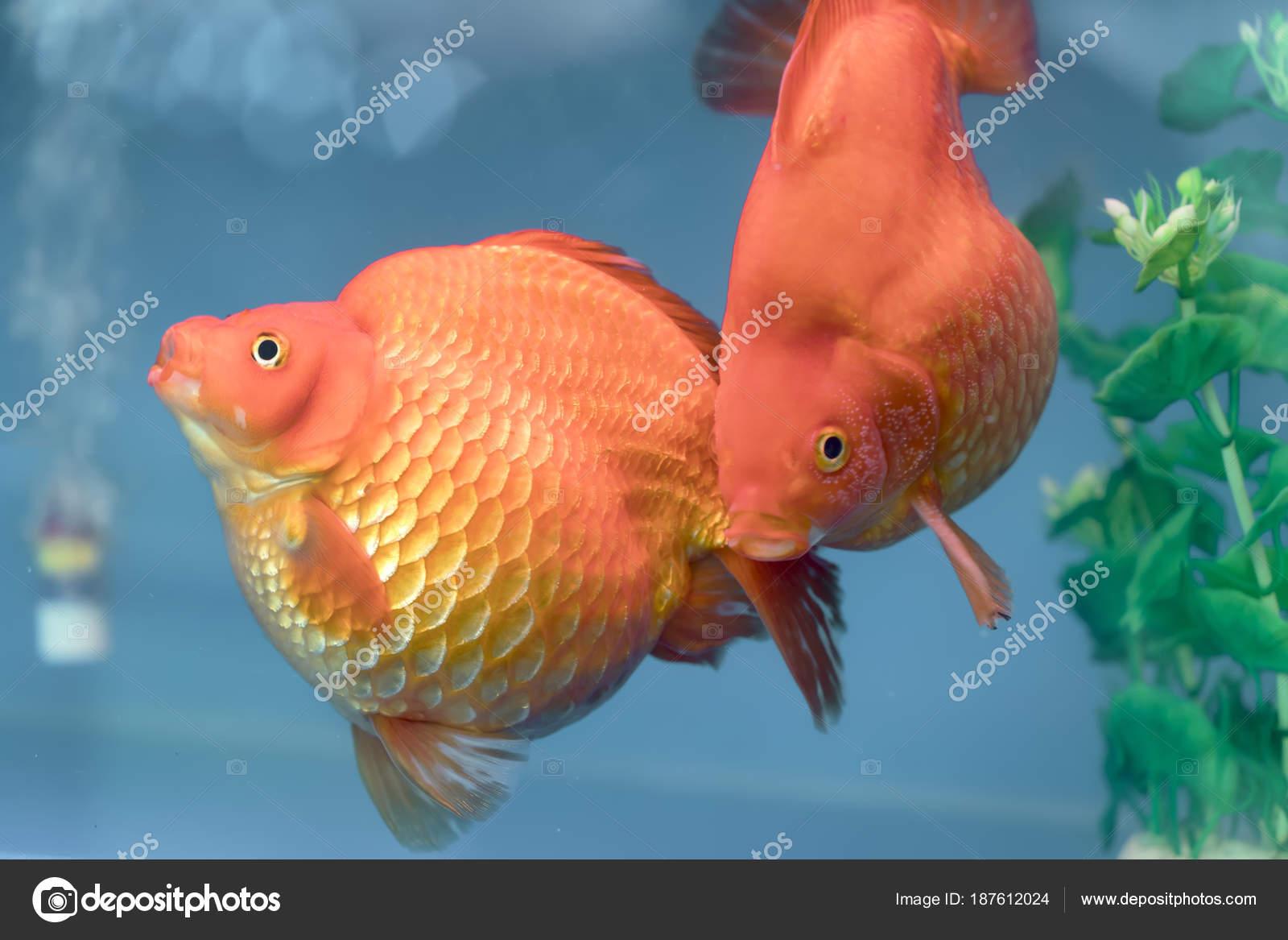 Uno los peces ornamentales m s populares goldfish for Estanques para peces ornamentales