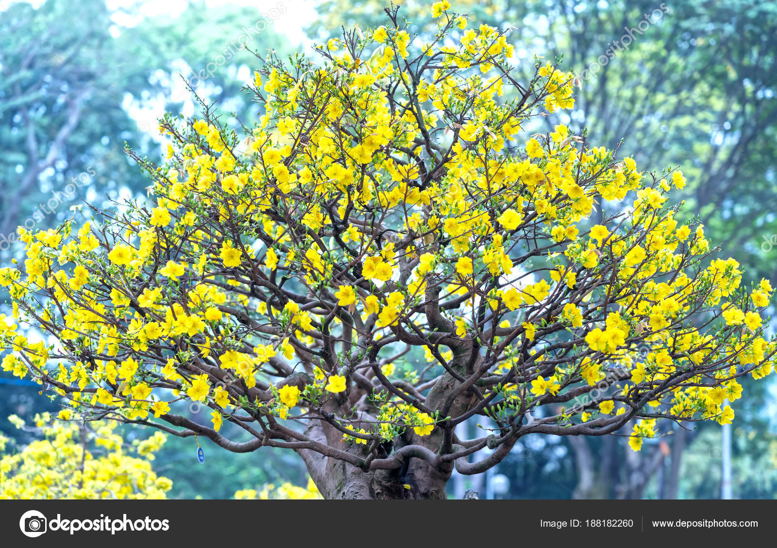 Apricot flowers blooming vietnam lunar new year yellow blooming apricot flowers blooming in vietnam lunar new year with yellow blooming fragrant petals signaling spring has come this is the symbolic flower for good luck mightylinksfo