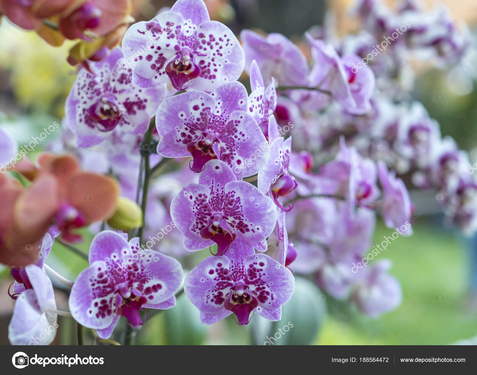 Phalaenopsis flowers bloom spring adorn beauty nature most beautiful phalaenopsis flowers bloom spring adorn beauty nature most beautiful orchid stock photo izmirmasajfo